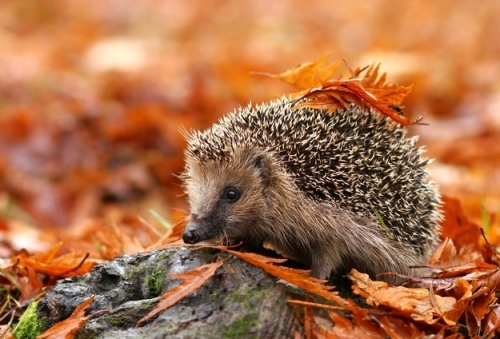 hedgehog-in-leaves